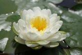 1 SEEROSE der Sorte Ernst Epple Sen., weisse Blüte