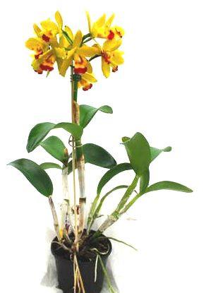 1 blühfähige Orchidee der Sorte: Slc. Jira Dawn x Bc. Star Treck, 13cm Topf