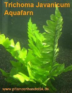 1 Bund Trichoma javanicum, Aquafarn, Farn