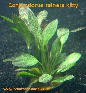 1 Topf Echinodorus Rainers kitty, Wasserpflanzen