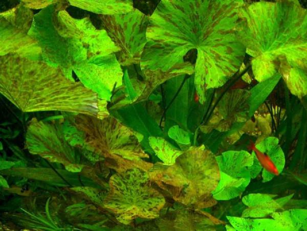 5 rote oder grüne Tigerlotusknolle ohne Austrieb