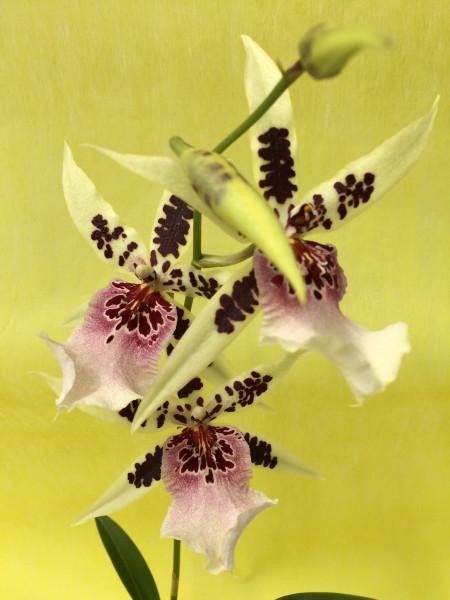 1 blühfähige Orchidee der Sorte: Wilsonara Kolibri x Onc. Katrin Zoch , traumhafte Orchidee vom deu