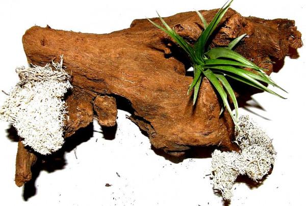1 Wurzel bepflanzt mit einer Tillandsie und weissem Dekomoos, Terrarium