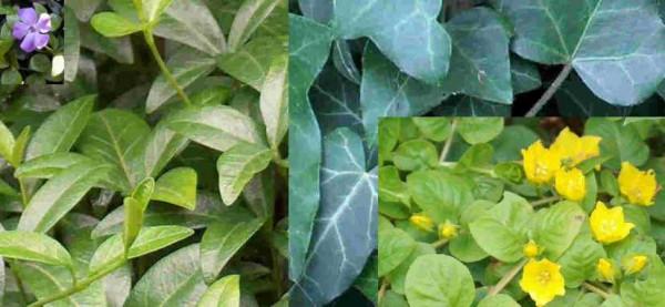 Mühlan - 9 Töpfe immergrüne Bodendecker (3 Sorten) gegen Unterkraut, Unrautvernichter