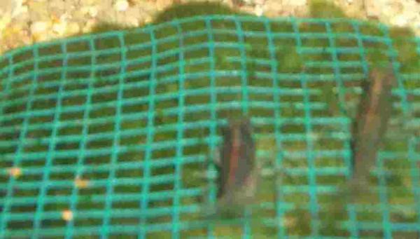 3 Wassergras Matte mit Gitter 15x10 cm, Moos