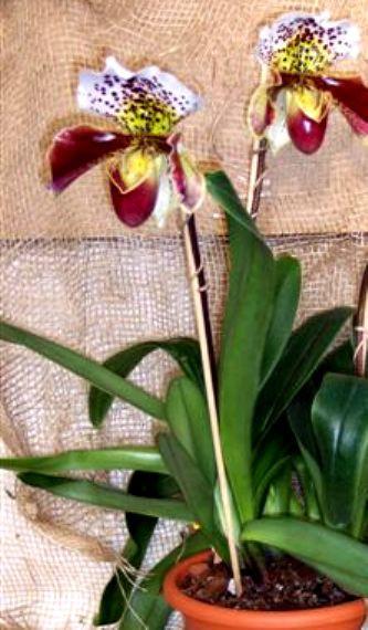 1 blühfähige Orchidee der Sorte: Paphiopedilum Hybride, 16cm Topf, großblütig