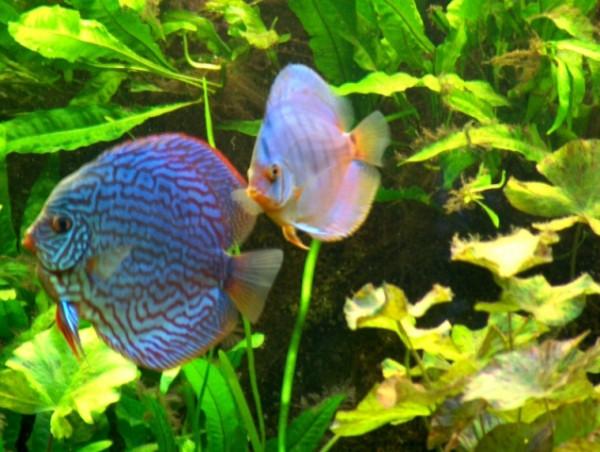 Wasserpflanzen Set für Diskus Aquarium 350-500 l