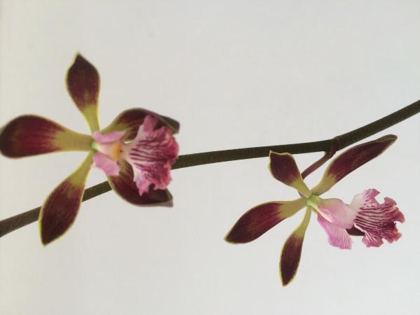1 blühfähige Orchidee der Sorte: Encyclia alata Hybride , traumhafte Orchidee vom deutschen Züchter