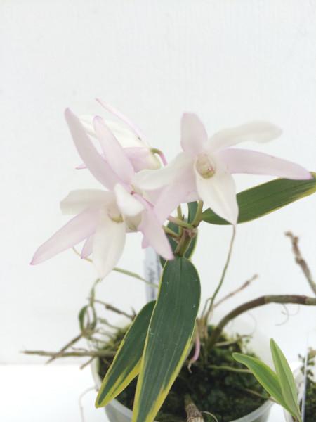 1 blühfähige Orchidee der Sorte: Dendrobium moniliforme albomarginatum, traumhafte Orchidee vom deu