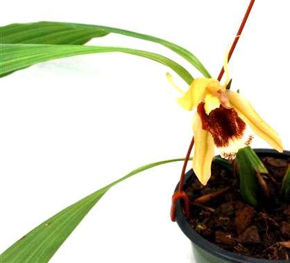 1 blühfähige Orchidee der Sorte: Coelogyne Pocahontas, 14cm Ampel