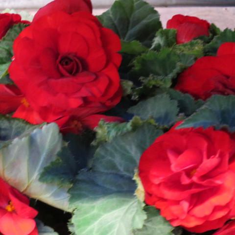 6 getopfte Pflanzen zur Gestaltung von blühenden Rabatten in Gärtnerqualität, mindestens 3 Sorten