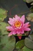 1 SEEROSE der Sorte Pink Pearl, pinkfarbene Blüte