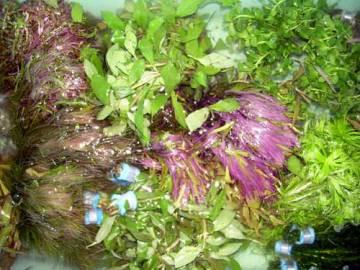 Wasserpflanzen 5 Bund ca 35 Aquariumpflanzen
