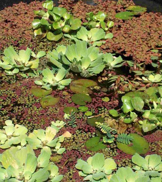 3 Muschelblumen + 3 Wassernüsse, Schwimmpflanzen für Teich