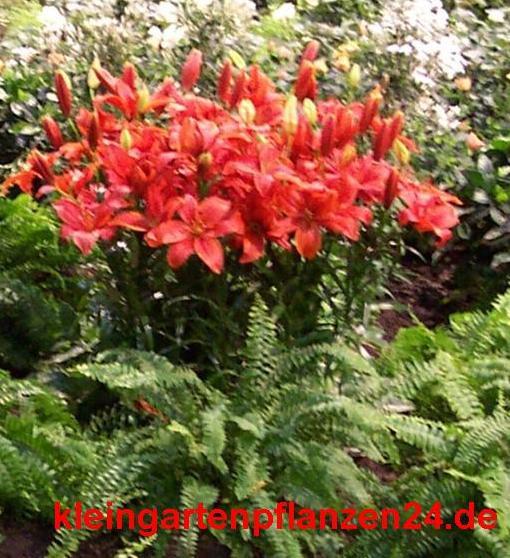 3 getopfte Pflanzen rot blühend in Gärtnerqualität, mindestens 3 Sorten, roter Garten