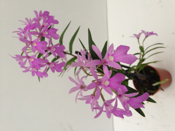 1 blühfähige Orchidee der Sorte: Oerstedella centradenia, traumhafte Orchidee vom deutschen Züchter