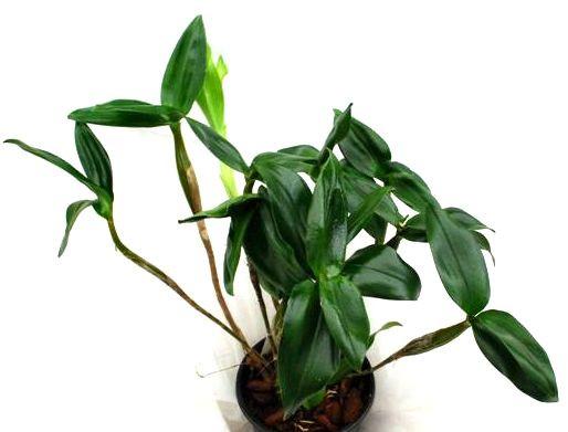 1 blühfähige Orchidee der Sorte: Dendrobium atroviolaceum x excimium, 13cm Topf