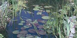 Über 25 Teichpflanzen, 9 Sorten mit Uferpflanzen + 1 Pflanzkorb 30x30x25 cm