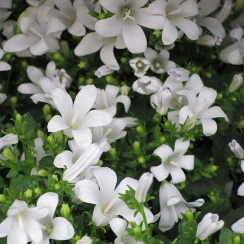 6 getopfte Pflanzen weiß blühend in Gärtnerqualität, mindestens 3 Sorten, weißer Garten
