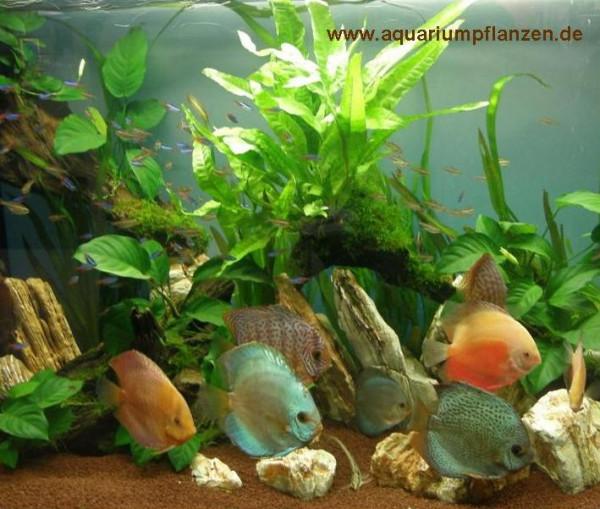 Mühlan - Wasserpflanzensortiment für Diskusfreunde, südamerikanisch, temperaturbeständig, dekorativ