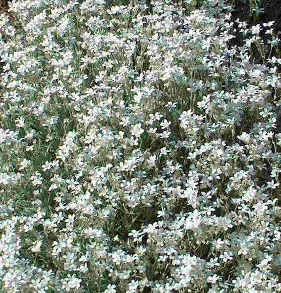 30 Bodendecker Silberblatt, weiße Blüten, Polster