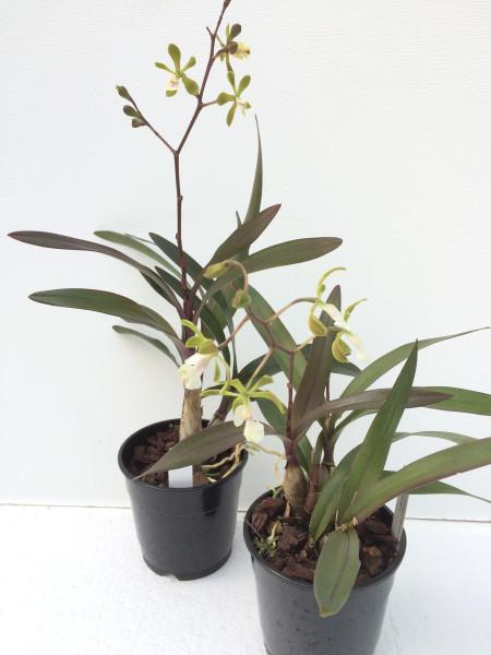1 blühfähige Orchidee der Sorte: Epidendrum floribundum, traumhafte Orchidee vom deutschen Züchter