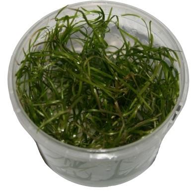 1 Dose Echinodorus tenellus in vitro, steril angezogen