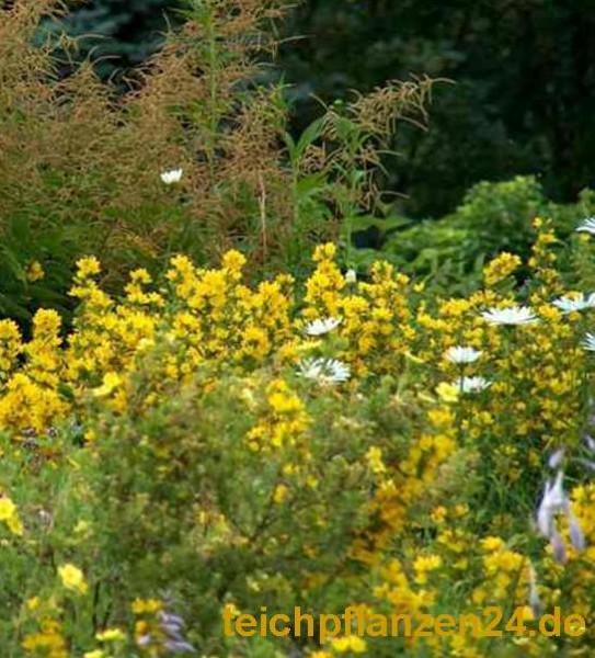 15 Uferpflanzen min. 8 Sorten, wurzelnackt Teich