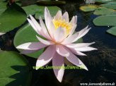 1 SEEROSE der Sorte Odorata Rosea, zartrosa Blüte