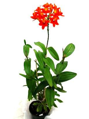 1 blühfähige Orchidee der Sorte: Epidendrum radicans Hybride, 13cm Topf, farblich variierend von gel