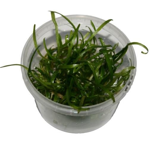 1 Dose Sagittaria Subulata in vitro, Pfeilkraut, Wasserpflanzen steril angezogen