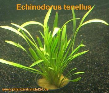 1 Topf Echinodorus Tenellus, Wasserpflanze