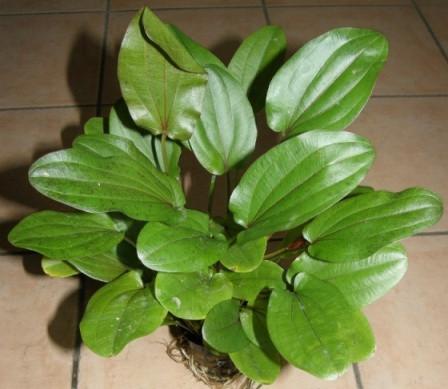 3 Echinodorus Mutterpflanzen Grösse 20-35 cm