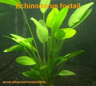 1 Topf Echinodorus Foxtail, Wasserpflanzen