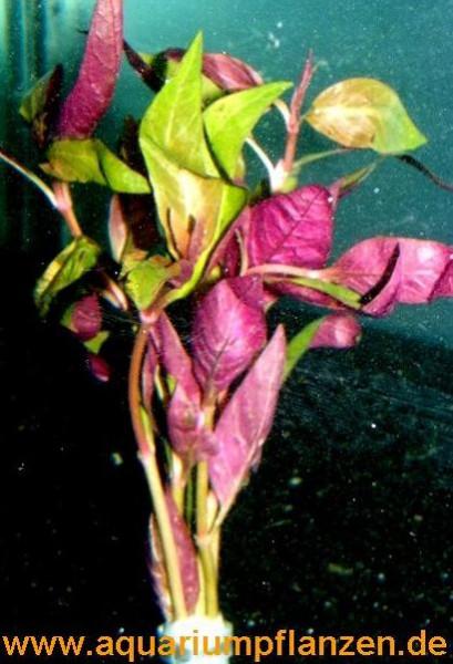 1 Bund Alternanthera bettzickiana, Papageienblatt