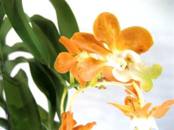 1 blühfähige Orchidee der Sorte: Vanda denisonia Hybride, Duft kann variieren