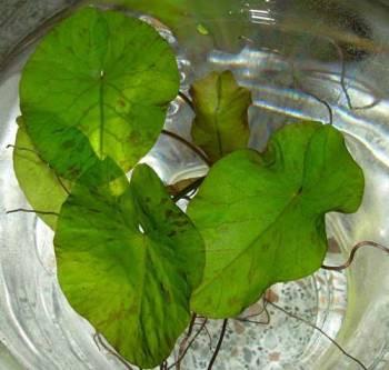 1 grüner Tigerlotus ca. 10-15 cm , Nymphaea Lotus