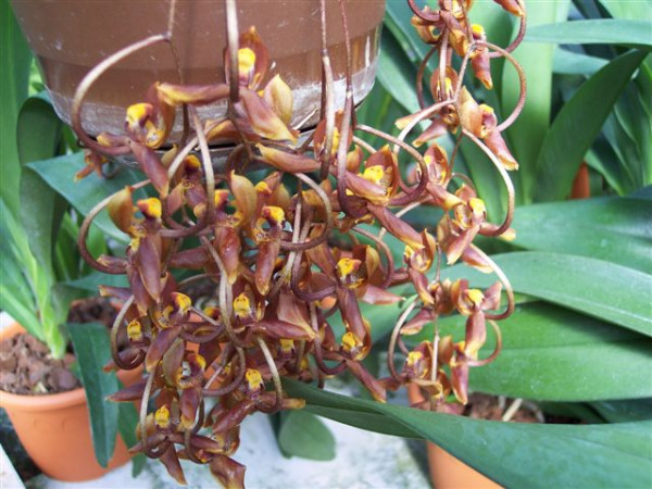 1 blühfähige Orchidee der Sorte: Gongora galeata, 14cmTopf