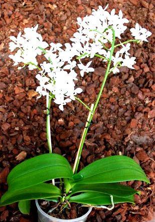 1 blühfähige Orchidee der Sorte: Phalaenopsis equestris alba, 12cm Topf
