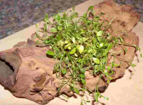 Wurzel aus Opuwaholz ca. bepflanzt mit Glossotigma