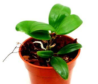 1 blühfähige Orchidee der Sorte: Dendrobium amabile, 9cm Topf, blühstark