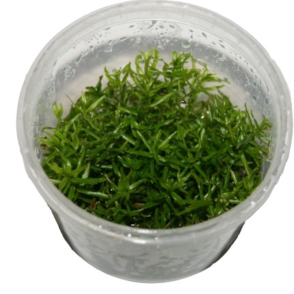 1 Dose Didiplis diandra invitro, Amerikanische Wasserhecke, Wasserpflanzen steril angezogen