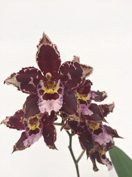 1 blühfähige Orchidee der Sorte: Odontioda Hybride , traumhafte Orchidee vom deutschen Züchter