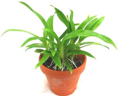1 blühfähige Orchidee der Sorte: Oncidium meirax, 9cm Topf